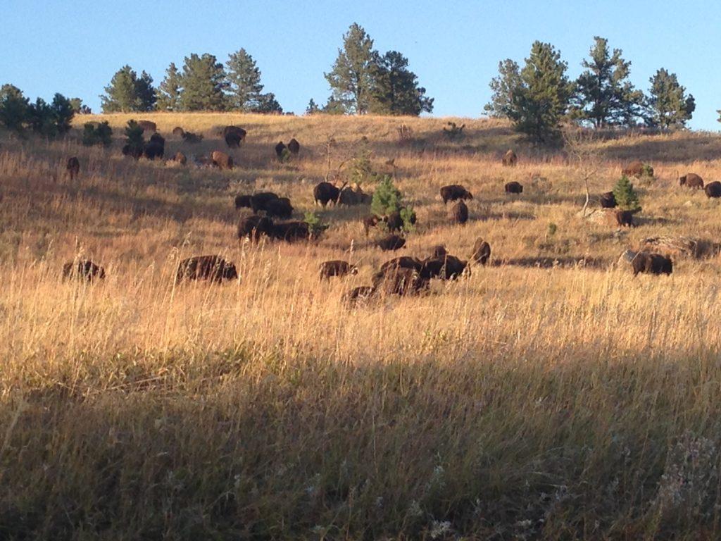 buffalo for miles