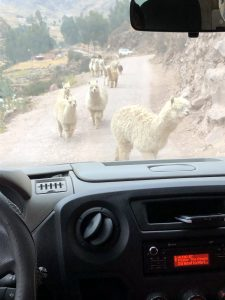 Traffic jam of alpacas